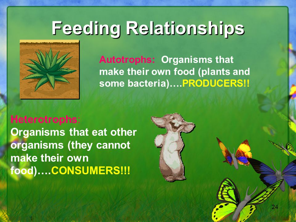24 Feeding Relationships Autotrophs: Organisms that make their own food (plants and some bacteria)….PRODUCERS!! Heterotrophs: Organisms that eat other