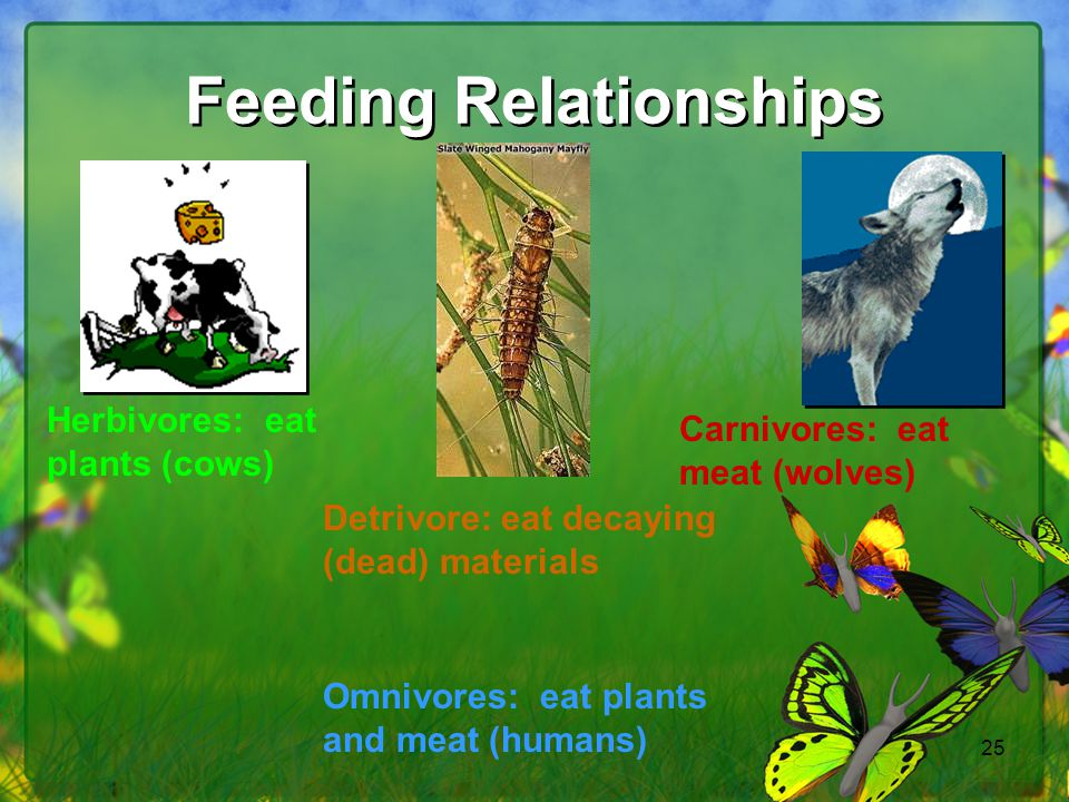 25 Feeding Relationships Herbivores: eat plants (cows) Carnivores: eat meat (wolves) Omnivores: eat plants and meat (humans) Detrivore: eat decaying (