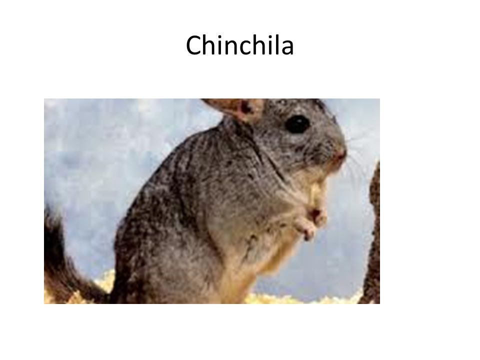 Chinchila