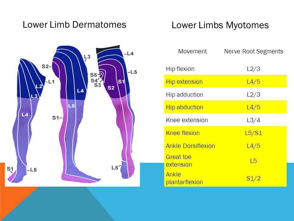 MovementNerve Root Segments Hip flexionL2/3 Hip extensionL4/5 Hip adductionL2/3 Hip abductionL4/5 Knee extensionL3/4 Knee flexionL5/S1 Ankle DorsiflexionL4/5 Great toe extension L5 Ankle plantarflexion S1/2 Lower Limbs Myotomes Lower Limb Dermatomes