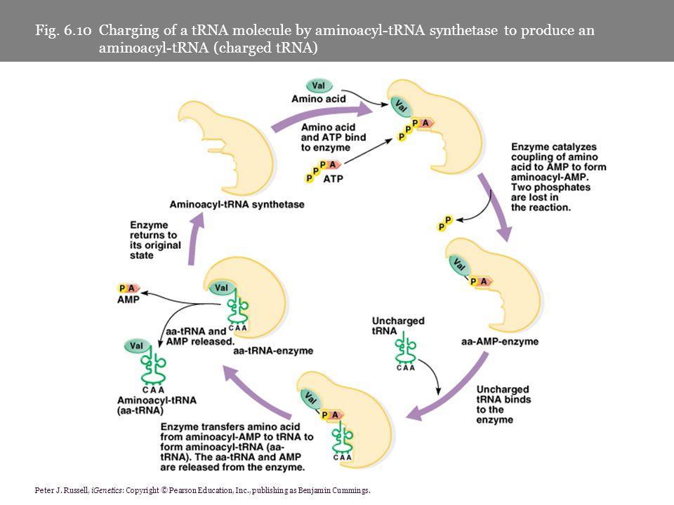 Peter J. Russell, iGenetics: Copyright © Pearson Education, Inc., publishing as Benjamin Cummings. Fig. 6.10 Charging of a tRNA molecule by aminoacyl-