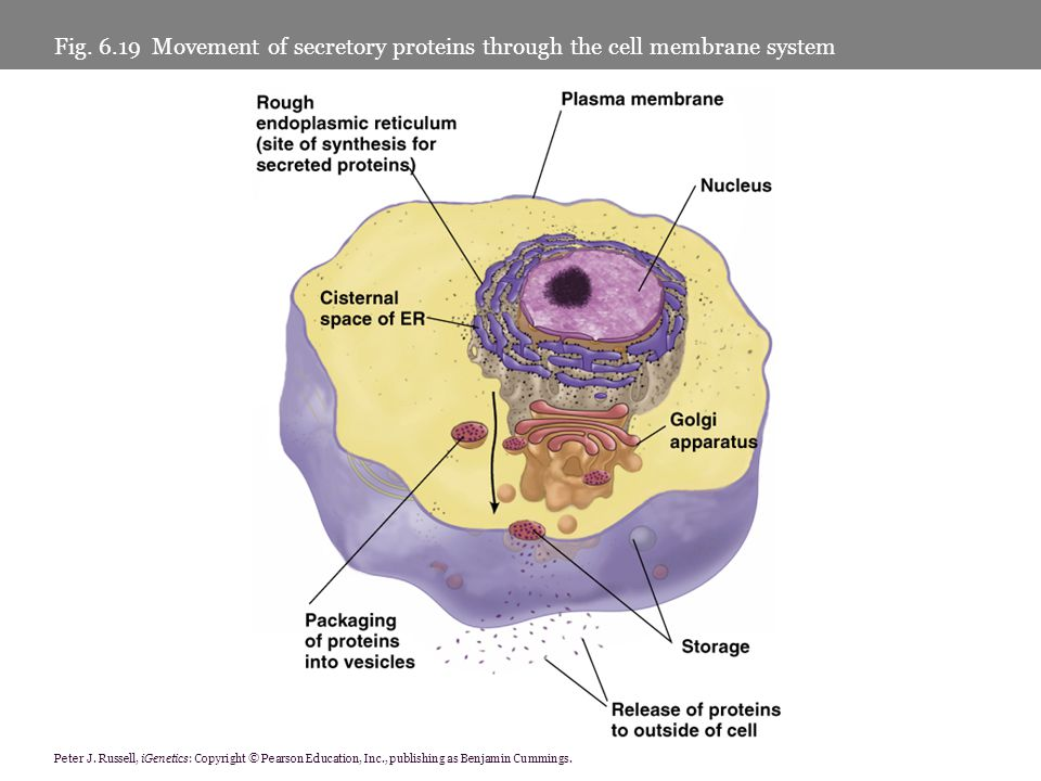 Fig. 6.19 Movement of secretory proteins through the cell membrane system Peter J. Russell, iGenetics: Copyright © Pearson Education, Inc., publishing