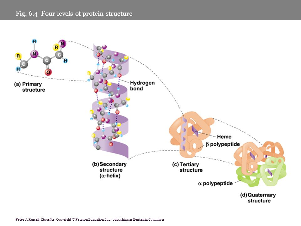 Peter J. Russell, iGenetics: Copyright © Pearson Education, Inc., publishing as Benjamin Cummings. Fig. 6.4 Four levels of protein structure