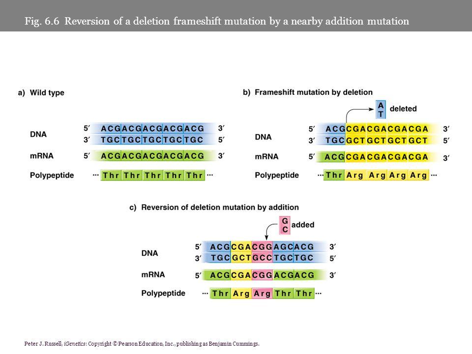 Peter J. Russell, iGenetics: Copyright © Pearson Education, Inc., publishing as Benjamin Cummings. Fig. 6.6 Reversion of a deletion frameshift mutatio