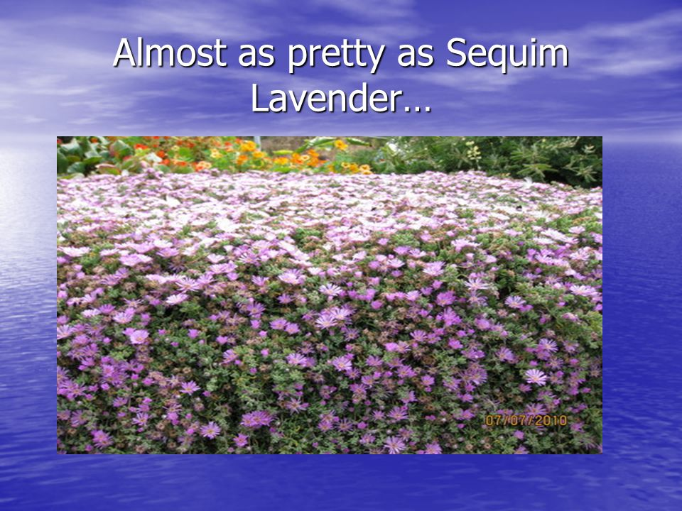 Almost as pretty as Sequim Lavender…