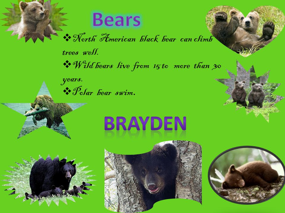  North American black bear can climb trees well.  Wild bears live from 15 to more than 30 years.  Polar bear swim.