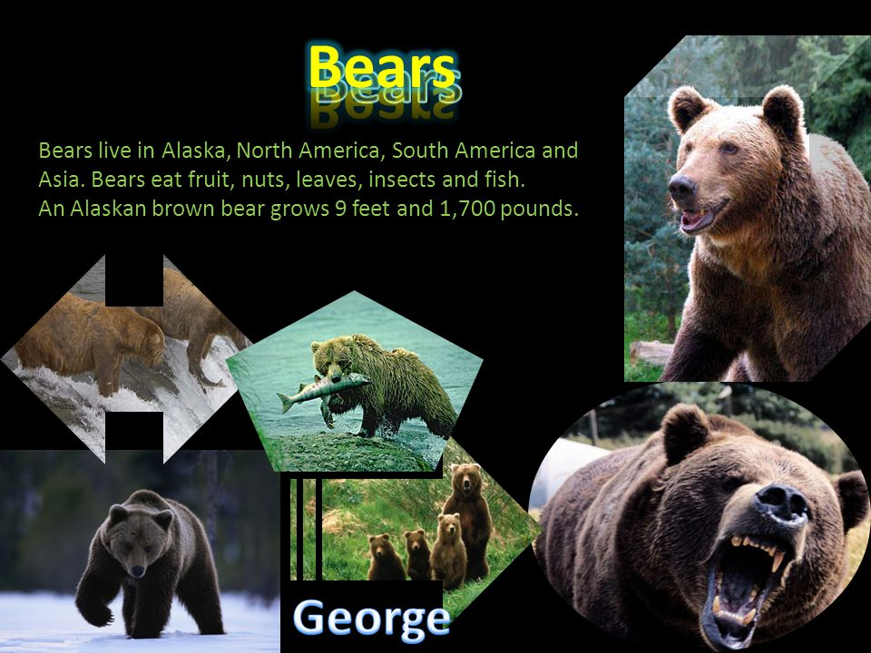 Bears live in Alaska, North America, South America and Asia. Bears eat fruit, nuts, leaves, insects and fish. An Alaskan brown bear grows 9 feet and 1