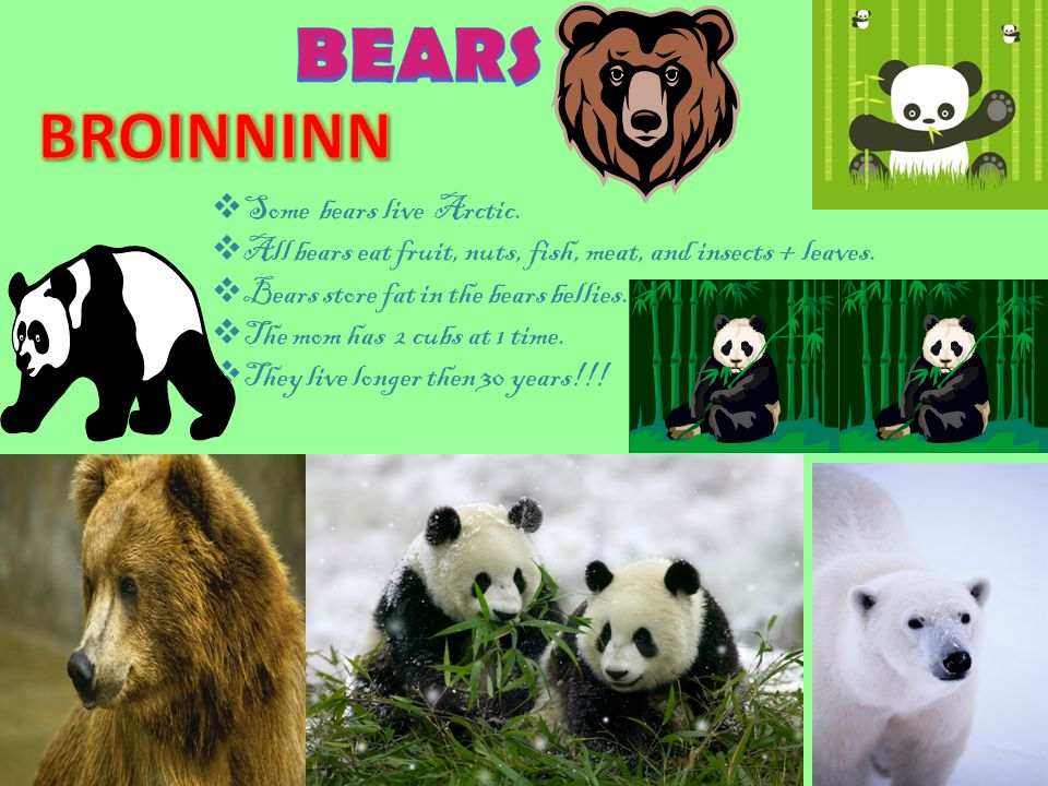  Some bears live in North America. Bear eat fruit, meat, nuts, insects, and fish.