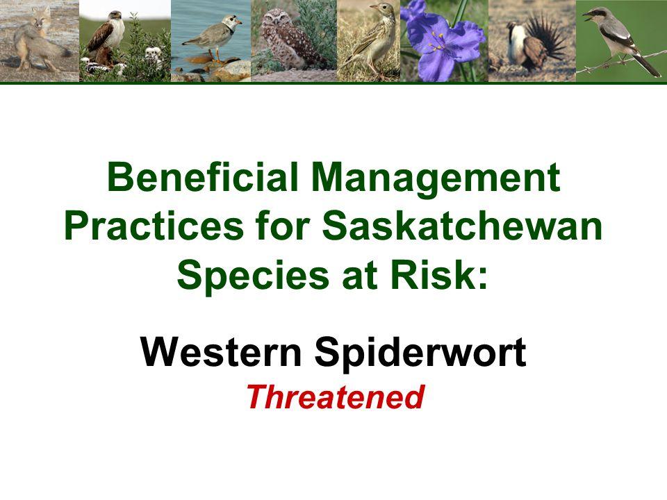 Beneficial Management Practices for Saskatchewan Species at Risk: Western Spiderwort Threatened