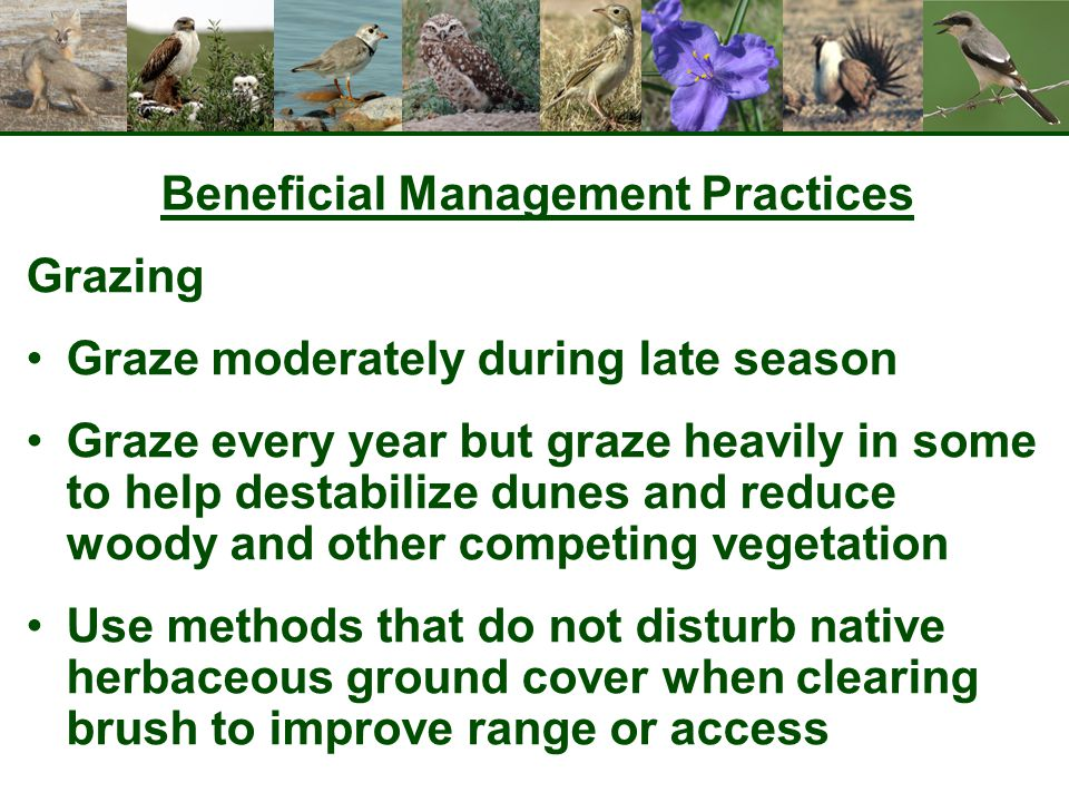 Beneficial Management Practices Grazing Graze moderately during late season Graze every year but graze heavily in some to help destabilize dunes and reduce woody and other competing vegetation Use methods that do not disturb native herbaceous ground cover when clearing brush to improve range or access