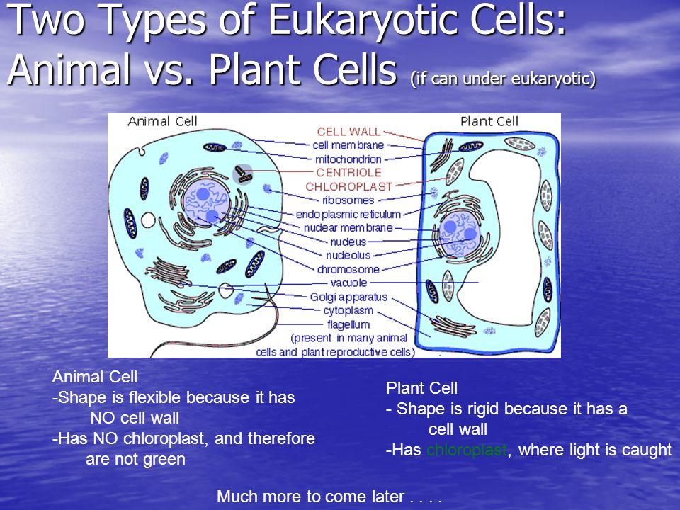 http://images.google.com/imgres imgurl=http://evolution.berkeley.edu/evosite/lines/images/cells.gif&imgr efurl=http://evolution.berkeley.edu/evosite/lines/IIDmolecular.shtml&h=275&w=511&sz=18&hl=en&start= 4&um=1&usg=__hgtBxS6jVrzjbN9OyDwgICeDJds=&tbnid=IXWsNpEjFuwLjM:&altq=plant+and+animal+ cells,animal+cells,&tbnh=70&tbnw=131&prev=/images%3Fq%3Danimal%2Bcell%2Bvs%2Bplant%2Bcel l%26um%3D1%26hl%3Den Two Types of Eukaryotic Cells: Animal vs.