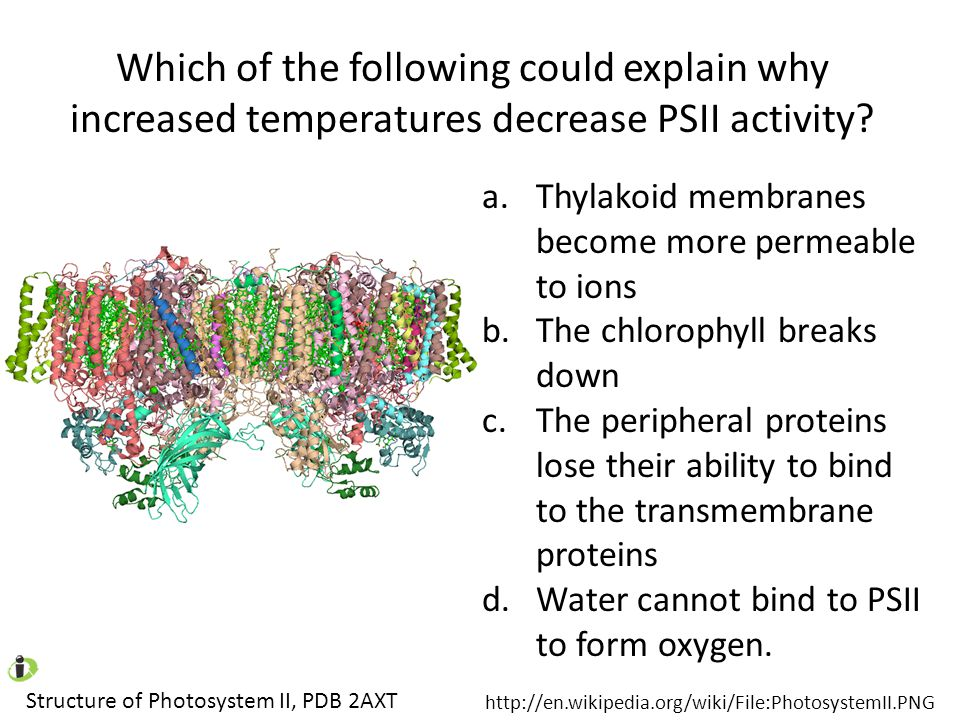 Which of the following could explain why increased temperatures decrease PSII activity? Structure of Photosystem II, PDB 2AXT http://en.wikipedia.org/