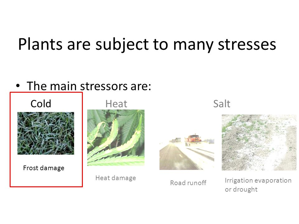 Plants are subject to many stresses The main stressors are: ColdHeat Salt Frost damage Heat damage Road runoff Irrigation evaporation or drought