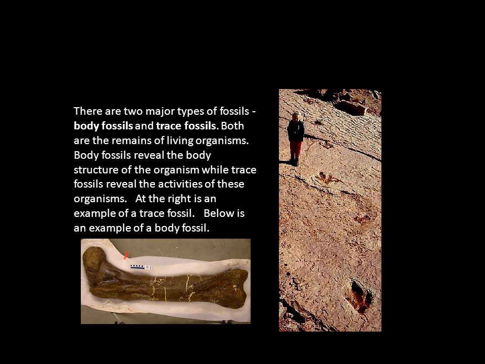 There are two major types of fossils - body fossils and trace fossils.