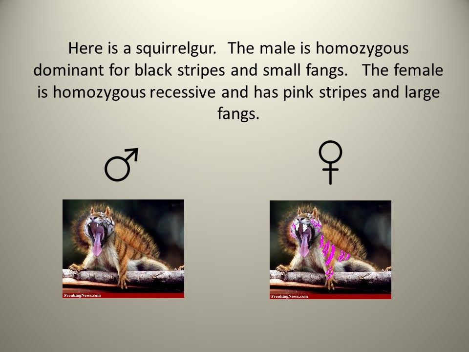 Here is a squirrelgur. The male is homozygous dominant for black stripes and small fangs. The female is homozygous recessive and has pink stripes and