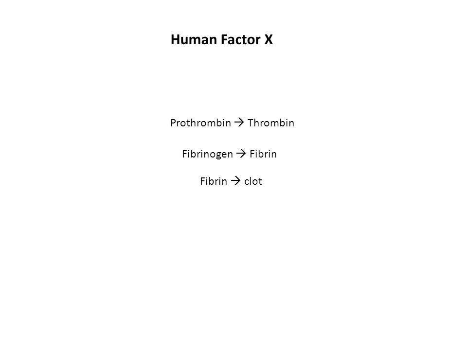 Prothrombin  Thrombin Human Factor X Fibrinogen  Fibrin Fibrin  clot