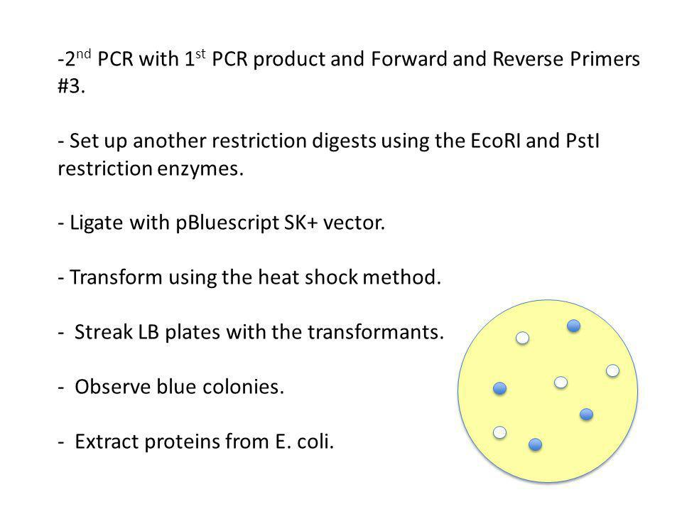 -2 nd PCR with 1 st PCR product and Forward and Reverse Primers #3.