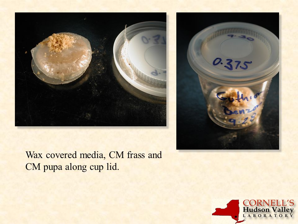 Wax covered media, CM frass and CM pupa along cup lid.