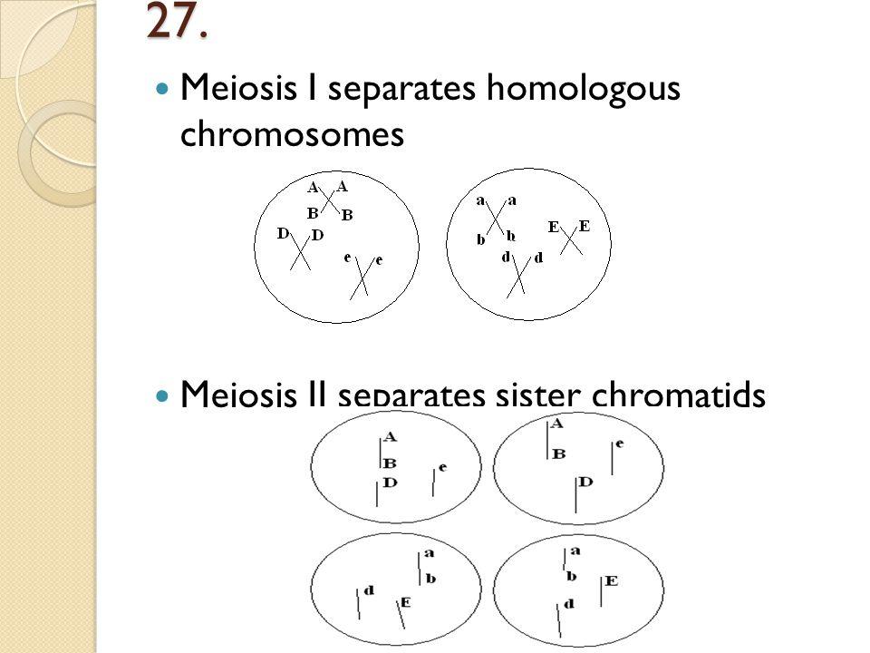 27. Meiosis I separates homologous chromosomes Meiosis II separates sister chromatids