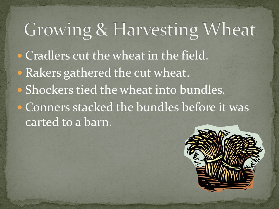 Cradlers cut the wheat in the field. Rakers gathered the cut wheat.
