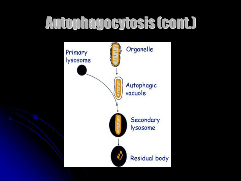 Autophagocytosis (cont.)