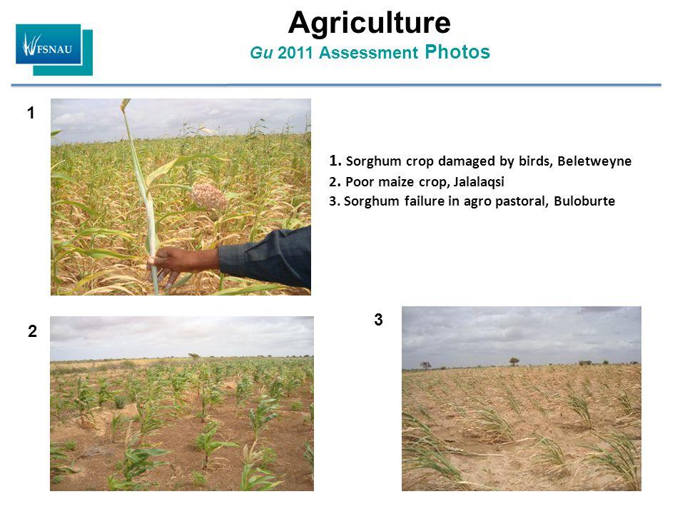 Agriculture Gu 2011 Assessment Photos 1. Sorghum crop damaged by birds, Beletweyne 2.