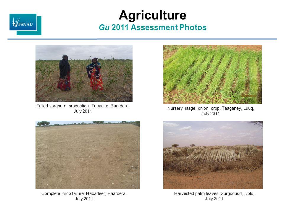 Agriculture Gu 2011 Assessment Photos Failed sorghum production. Tubaako, Baardera, July 2011 Complete crop failure. Habadeer, Baardera, July 2011 Har