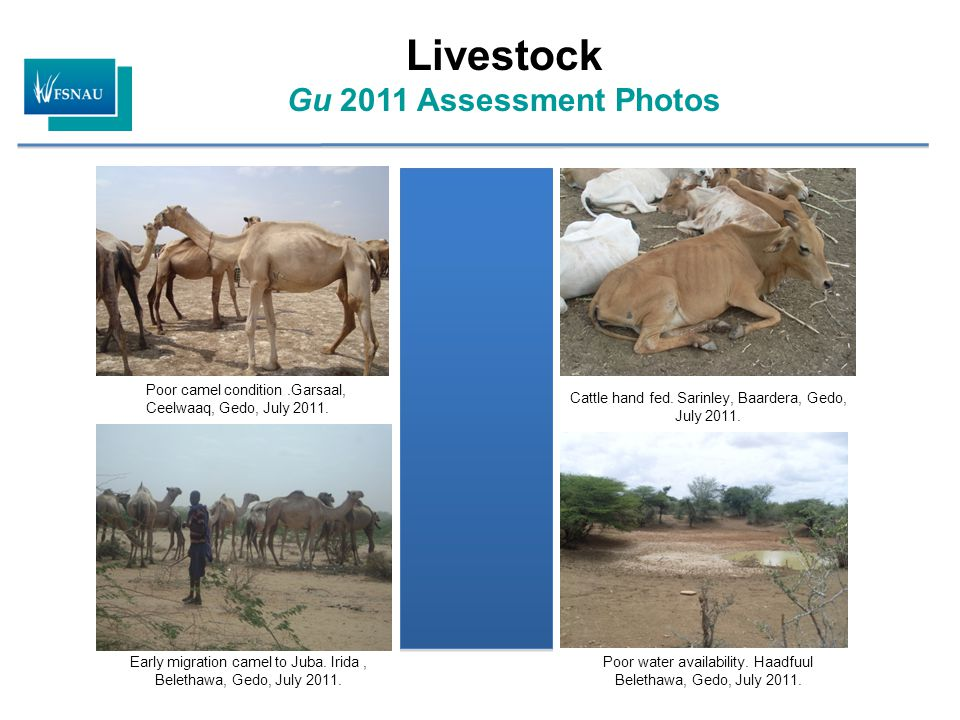 Livestock Gu 2011 Assessment Photos Poor camel condition.Garsaal, Ceelwaaq, Gedo, July 2011. Early migration camel to Juba. Irida, Belethawa, Gedo, Ju