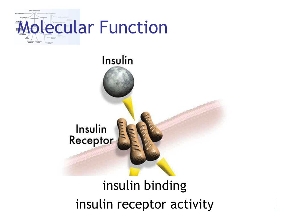 24th Feb 2006 Jane Lomax Molecular Function insulin binding insulin receptor activity