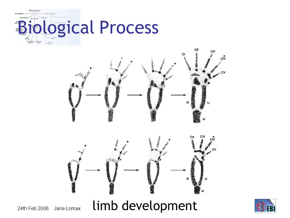 24th Feb 2006 Jane Lomax Biological Process limb development