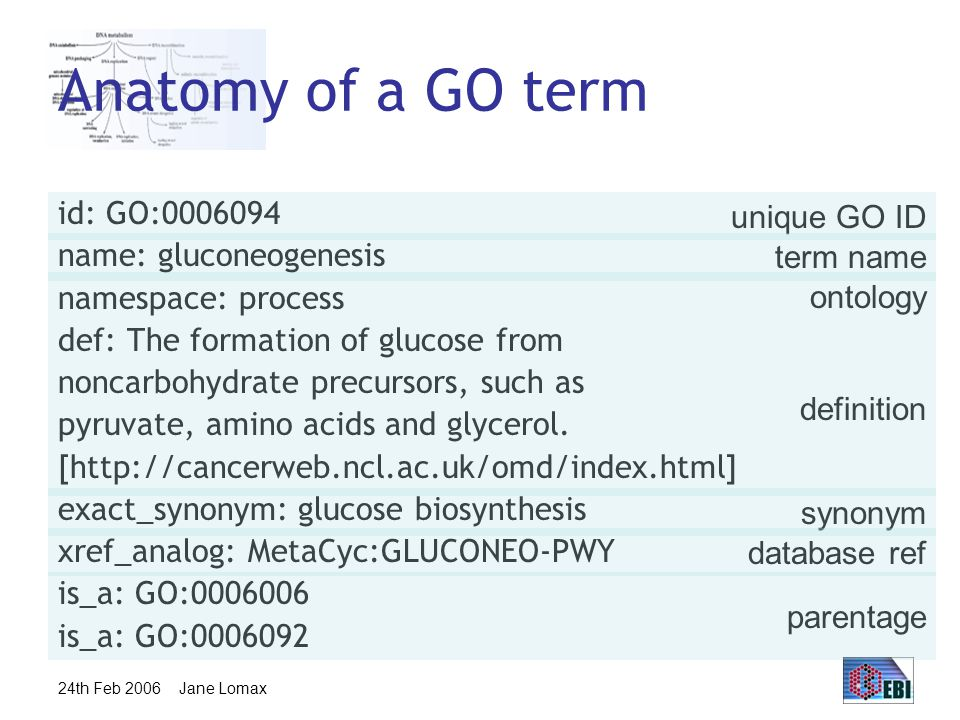 24th Feb 2006 Jane Lomax Anatomy of a GO term id: GO:0006094 name: gluconeogenesis namespace: process def: The formation of glucose from noncarbohydrate precursors, such as pyruvate, amino acids and glycerol.