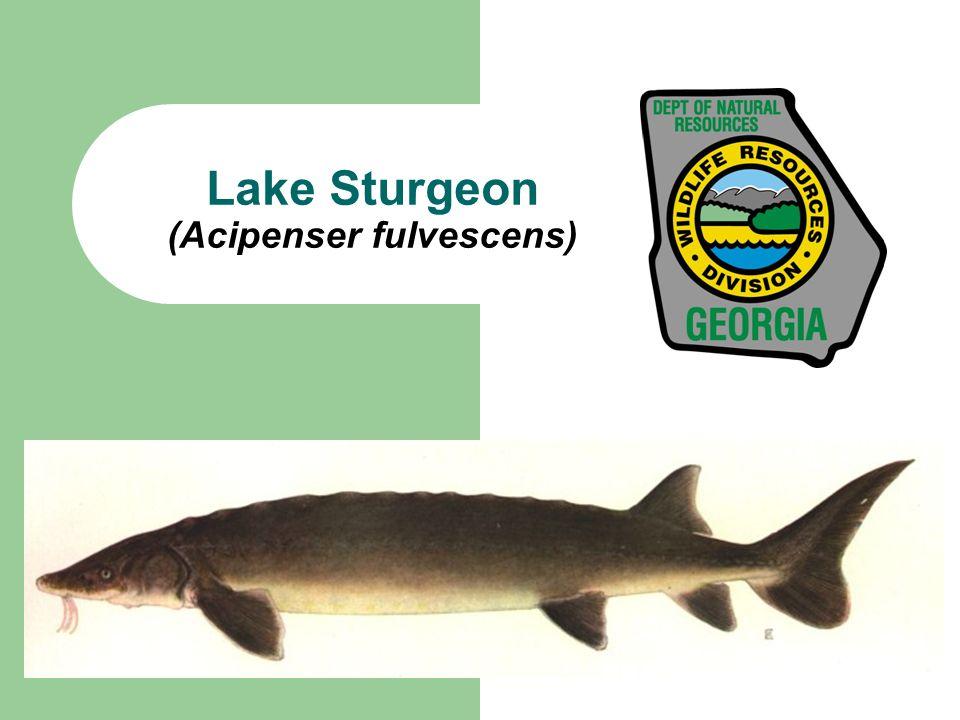 What are Lake Sturgeon.