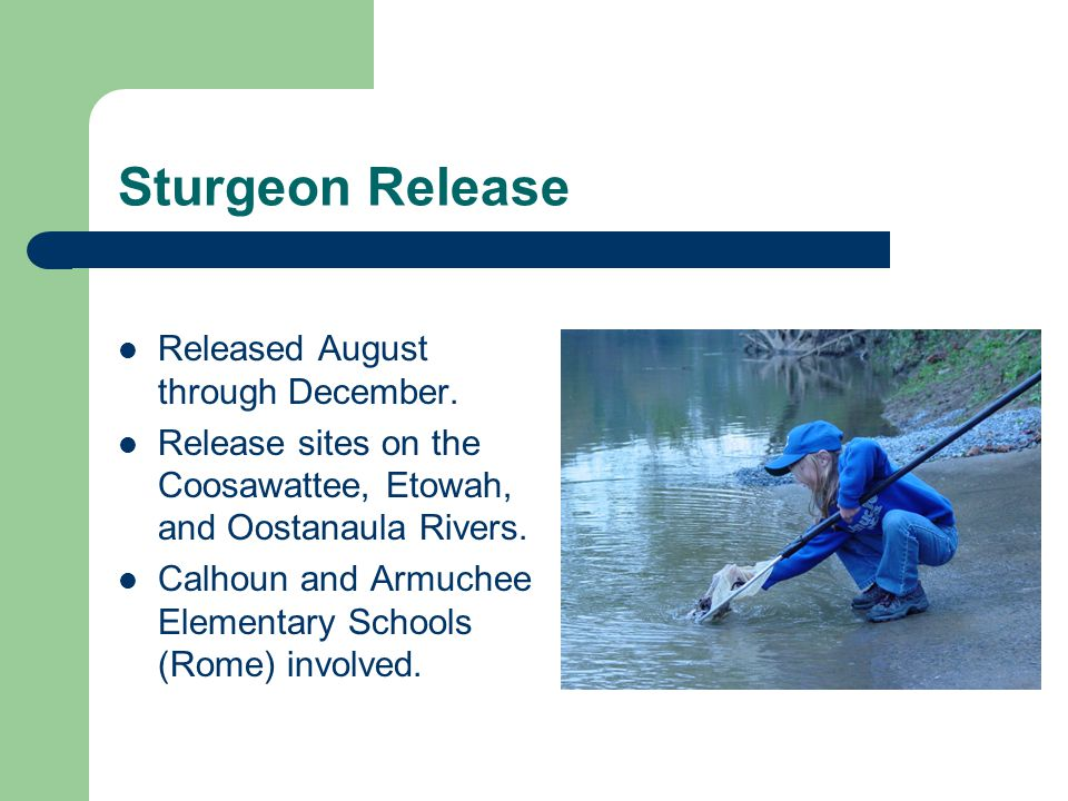 Sturgeon Release Released August through December. Release sites on the Coosawattee, Etowah, and Oostanaula Rivers. Calhoun and Armuchee Elementary Sc