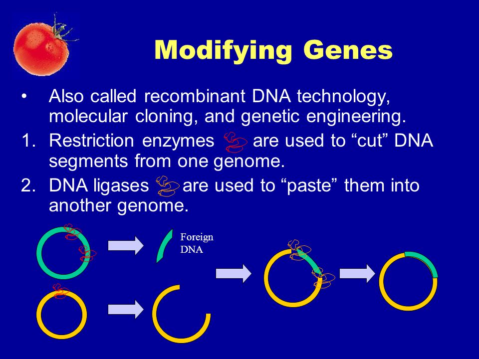 """Modifying Genes Also called recombinant DNA technology, molecular cloning, and genetic engineering. 1.Restriction enzymes are used to """"cut"""" DNA segmen"""