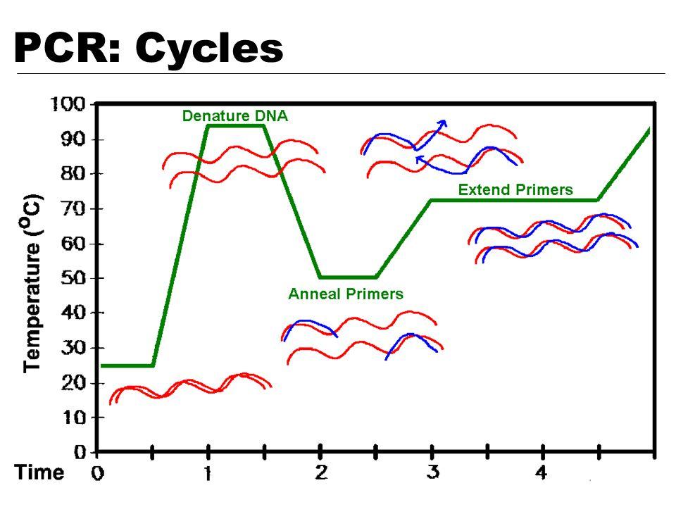 PCR: Cycles