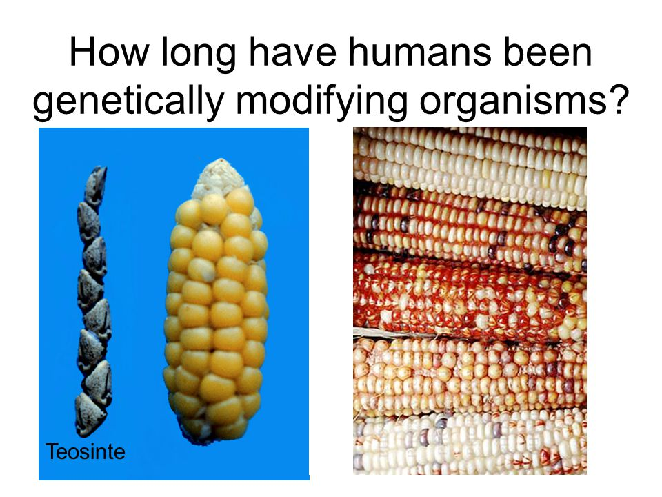 How long have humans been genetically modifying organisms? What about in the lab? How long have scientists been modifying organisms? How is modern tec
