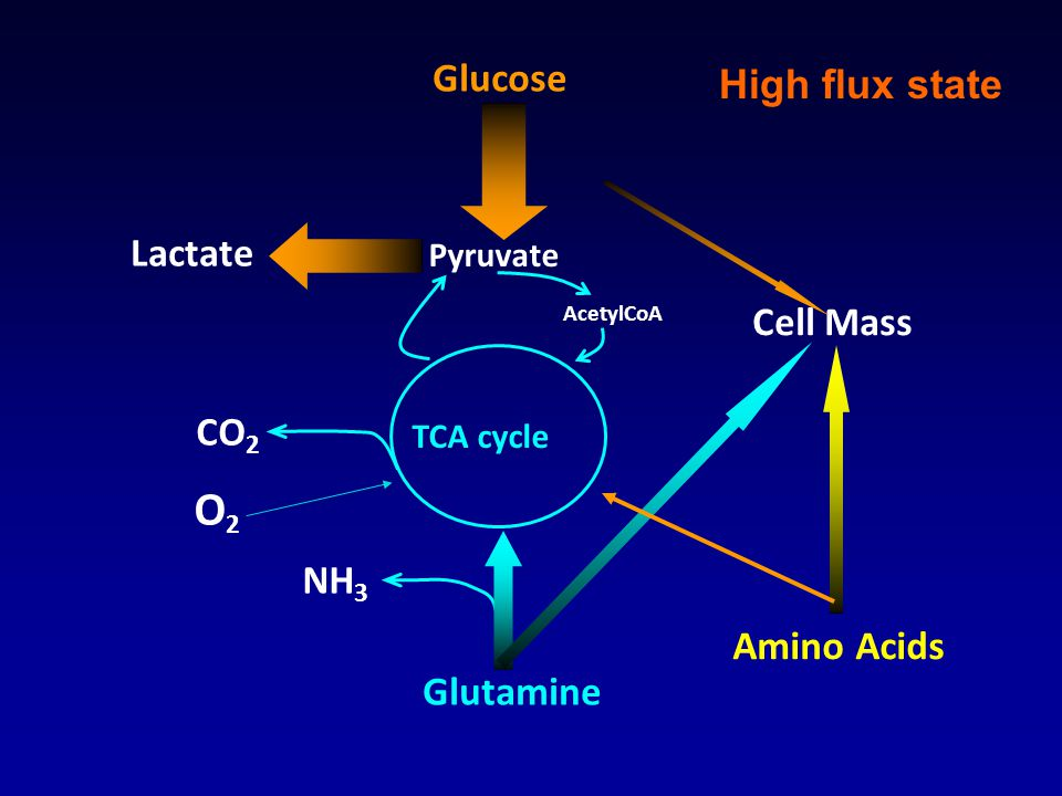 Glucose Pyruvate Glutamine TCA cycle Lactate Cell Mass Amino Acids AcetylCoA NH 3 CO 2 O2O2 High flux state