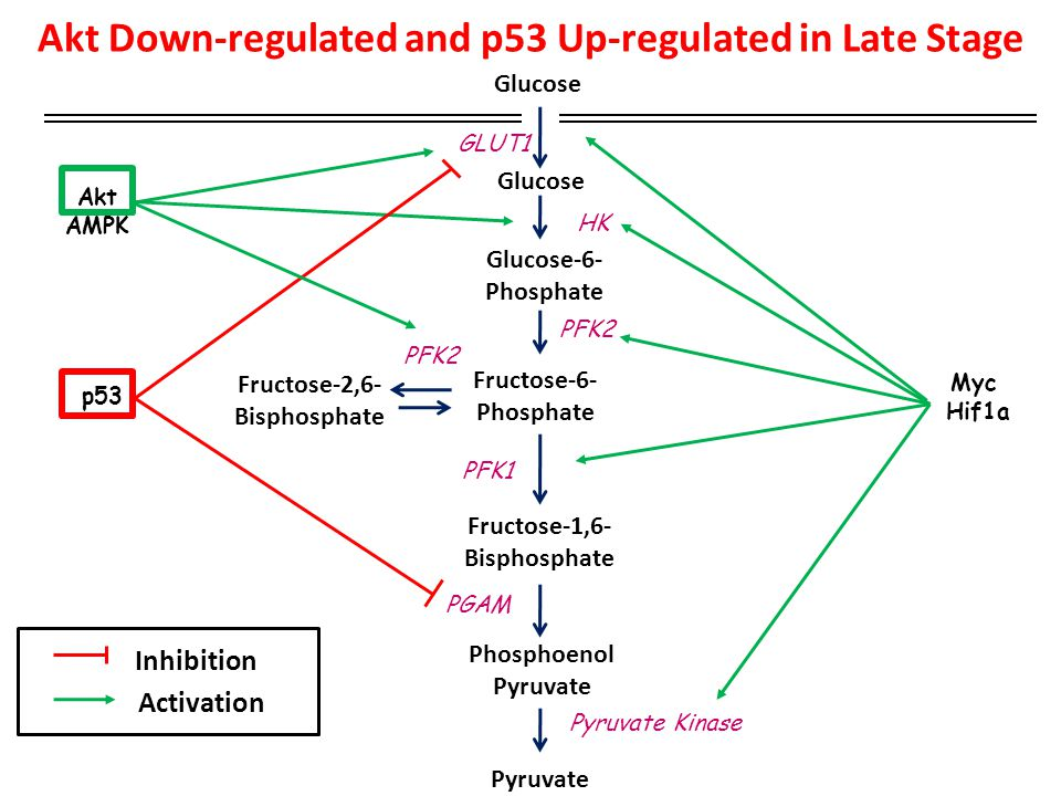 Akt Down-regulated and p53 Up-regulated in Late Stage Glucose Fructose-6- Phosphate Pyruvate Fructose-1,6- Bisphosphate Fructose-2,6- Bisphosphate PFK1 Glucose-6- Phosphate Phosphoenol Pyruvate Pyruvate Kinase PFK2 p53 PGAM Glucose GLUT1 Akt AMPK Inhibition Activation HK Myc Hif1a PFK2