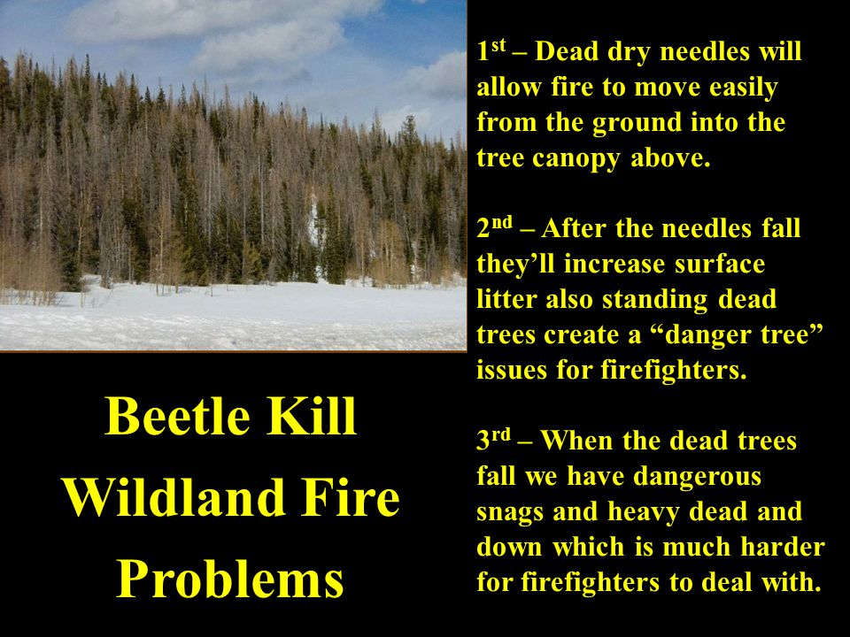 1 st – Dead dry needles will allow fire to move easily from the ground into the tree canopy above.