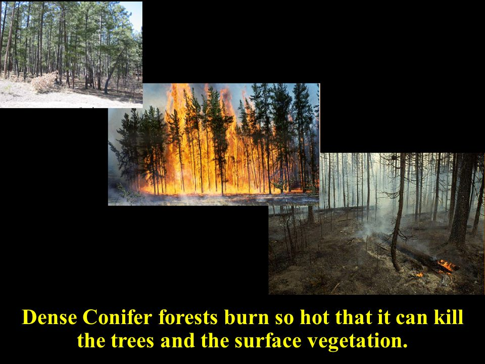 master Dense Conifer forests burn so hot that it can kill the trees and the surface vegetation.