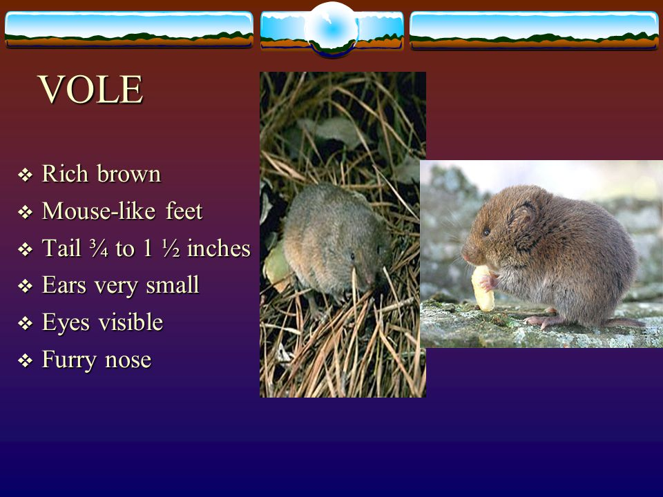 VOLE  Rich brown  Mouse-like feet  Tail ¾ to 1 ½ inches  Ears very small  Eyes visible  Furry nose