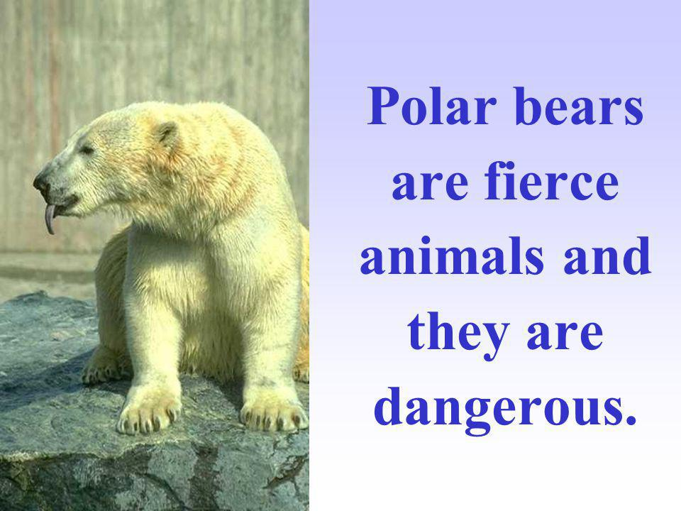 Polar bears are fierce animals and they are dangerous.