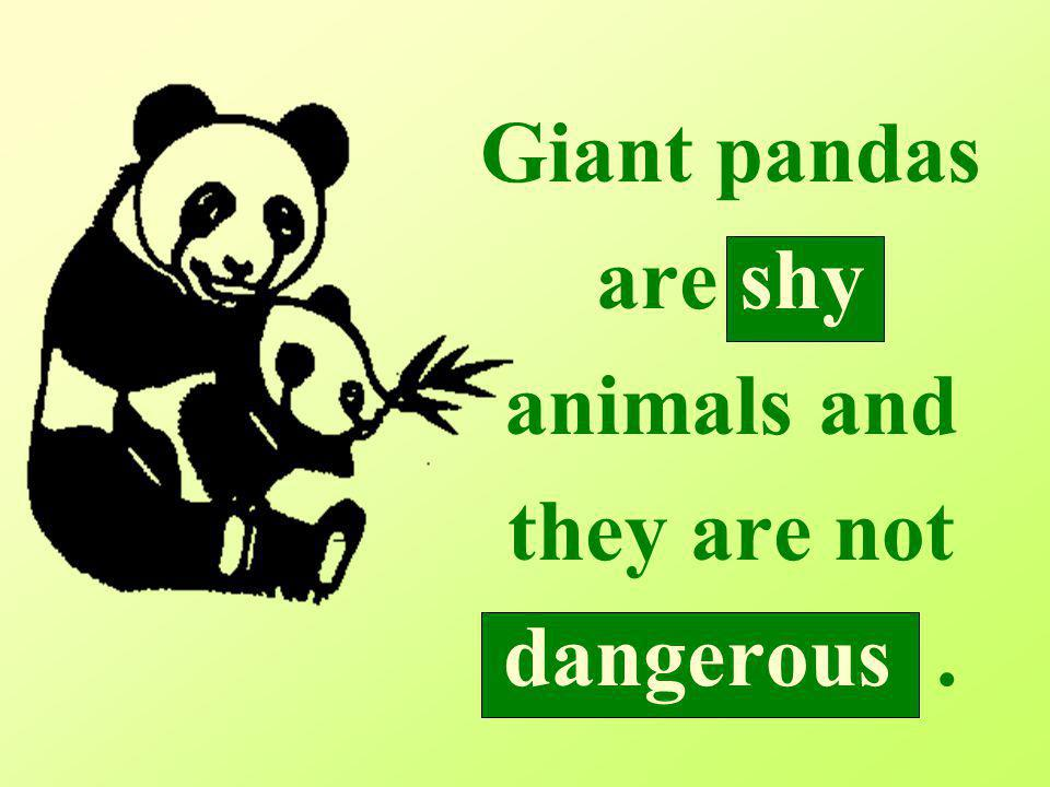 Giant pandas are shy animals and they are not dangerous.