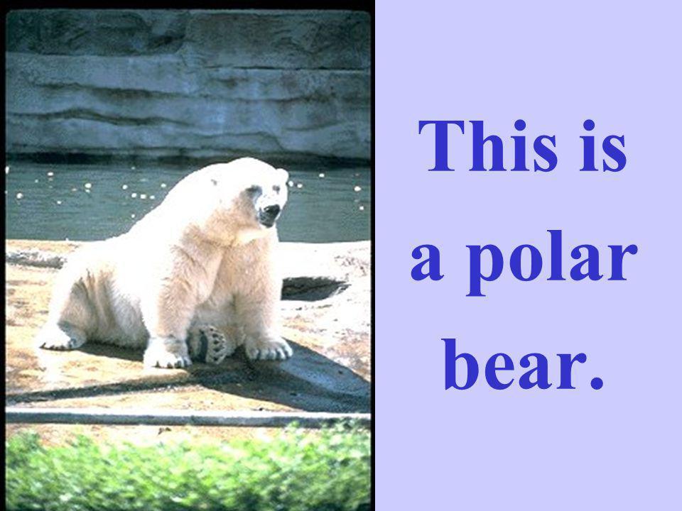 This is a polar bear.