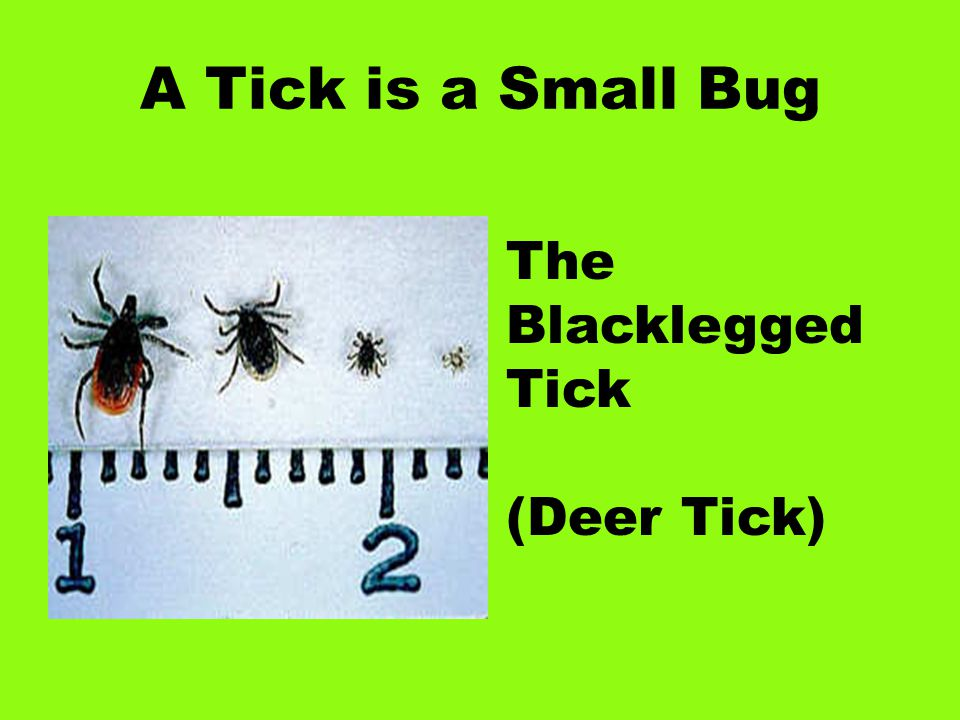 A Tick is a Small Bug The Blacklegged Tick (Deer Tick)