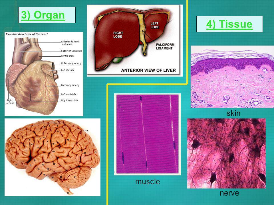 3) Organ 4) Tissue muscle skin nerve