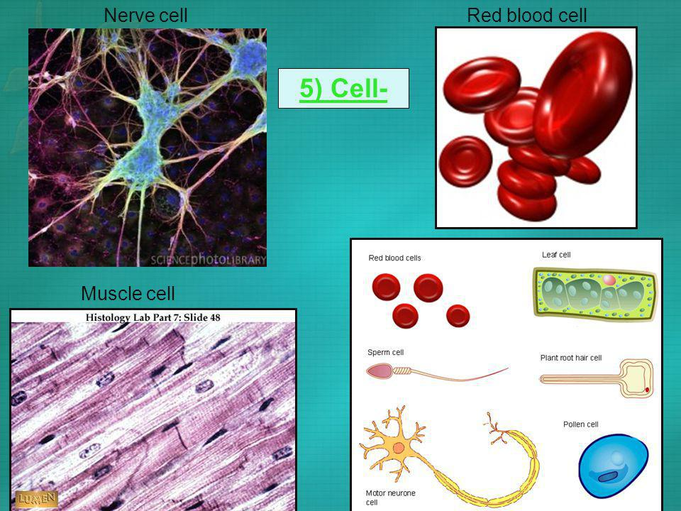 5) Cell- Nerve cellRed blood cell Muscle cell