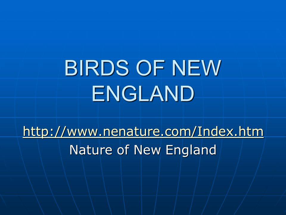 BIRDS OF NEW ENGLAND http://www.nenature.com/Index.htm Nature of New England