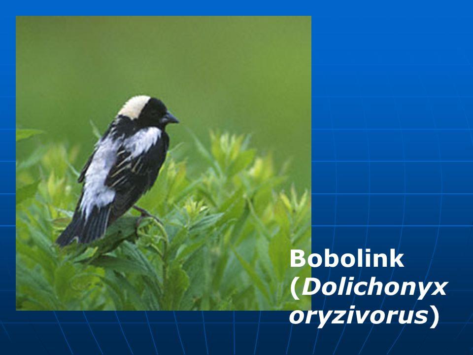 Bobolink (Dolichonyx oryzivorus)