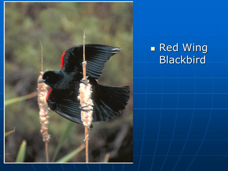 Red Wing Blackbird Red Wing Blackbird